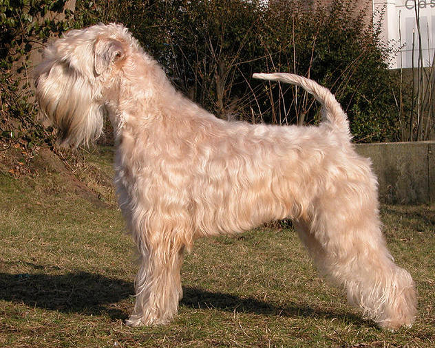 Irish Soft Coated Wheaten Terrier Quot Mother 180 S Finest